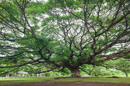 samanea saman: The Big Albizia saman tree