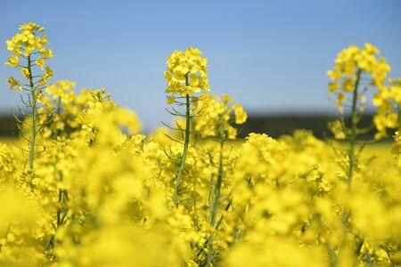 Ein blühendes Rapsfeld in Desselbrunn (Salzkammergut, Österreich) - Der Raps ist eine wirtschaftlich bedeutende Nutzpflanze. Genutzt werden die Samen vor allem zur Gewinnung von Rapsöl. - A blooming rapeseed field in Desselbrunn (Upper Austria, Austria) - The rapeseed is an economically important crop. The seeds are mainly used to extract rapeseed oil.