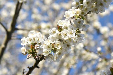 Die Kirsche, oft auch Weichsel genannt, ist ein Obstbaum. - The cherry, often called the Vistula, is a fruit tree. Stock fotó