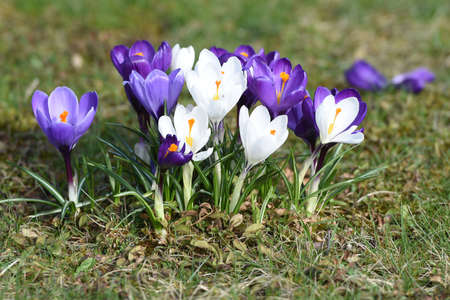 The approximately 240 species of crocus are mainly found in the Orient, but also in Europe, North Africa and as far as western China. They have been popular ornamental plants for centuries.
