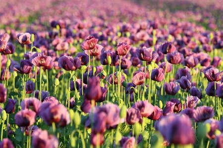 A field with purple poppy flowers in Upper Austria (Austria)