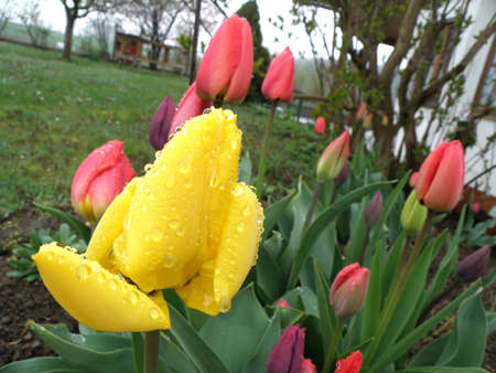 In the picture are tulips in spring with raindrops