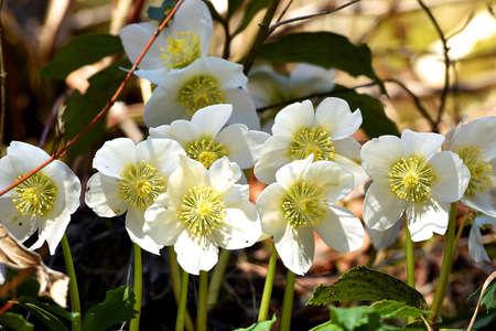 Snow rose or Christmas rose blooms in spring in the Salzkammergut (Upper Austria, Austria)