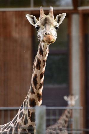 Giraffe in Schmiding Zoo, Upper Austria, Austria, Europe