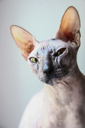 gray sphinx cat sits on a white window sill and looks into the frame