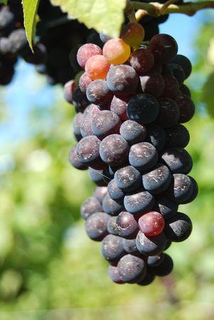 Ripe blue grapes at lake okanagan