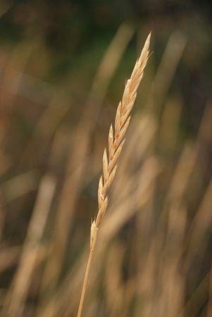 Single Wheat plant on a wheat field