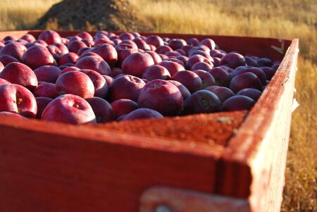 A box of fresh picked red apples