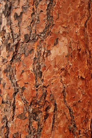 Bark on a big old canadian tree