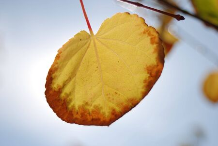 Detail of yellow and red autumn leaf
