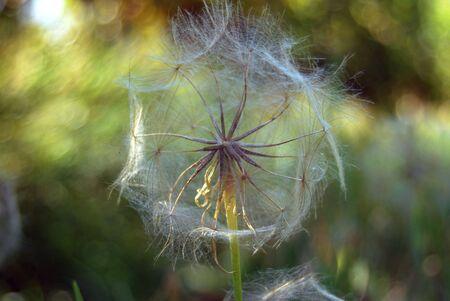 Dandelion flower in bright sunlight in a green meadow