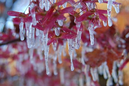 icicled: Icicled autumn garden - iced by sprinkler water in the first freezing night. Stock Photo