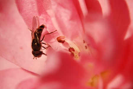 Bee sitting in a beautiful hedge rose blossom in late autumn sunlight. Stock Photo
