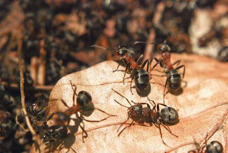 leaf cutter ant: Ants sitting on a leaf Stock Photo