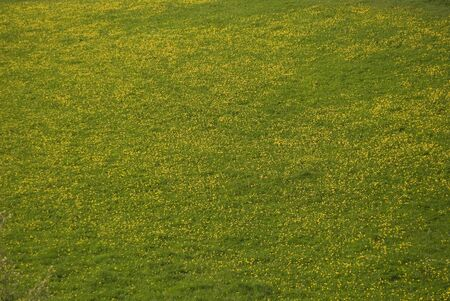 A beautiful meadow full of dandelion flowers Stock Photo