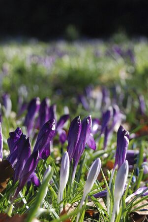 a meadow with beautiful violet crocuses in spring