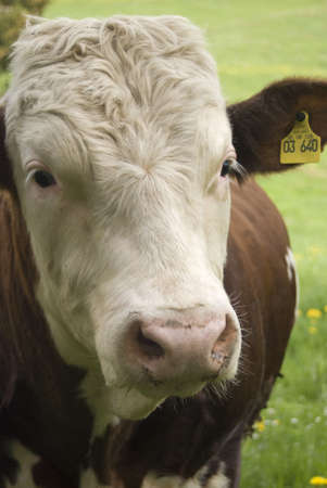 A cow looking into the camera