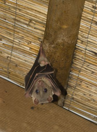 Bat hanging upside down on a ceiling plank Stock Photo