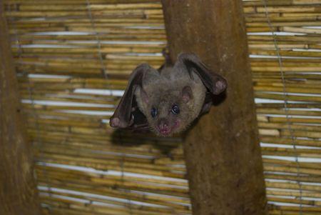 Bat hanging upside down on a ceiling plank Stok Fotoğraf