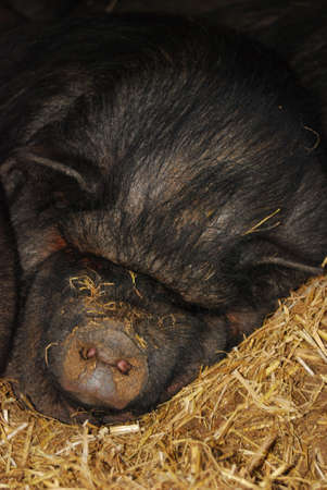 A group of pigs lying sleeping upon another