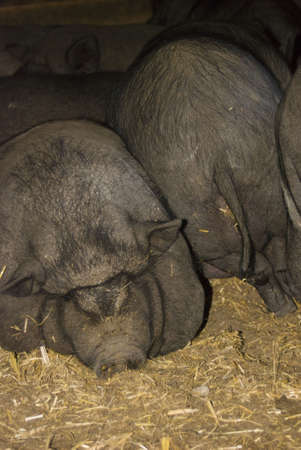 A group of pigs lying sleeping upon another photo
