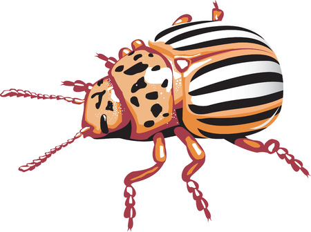 colorado: Colorado potato beetle