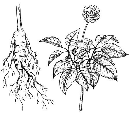 pflanze wurzel: Ginseng (Panax), Heilpflanze. Root, Stem, Frucht. Illustration