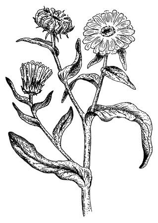 Calendula. Vector illustration. Stock Vector - 8503934