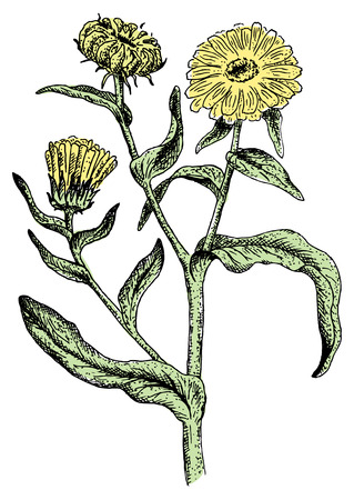 calendula: Calendula. Vector illustration.