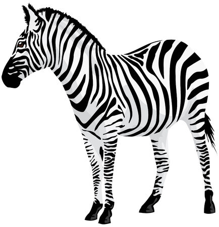 anima: Zebra. illustration. Illustration
