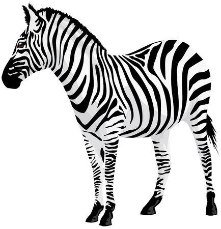 herbivore: Zebra. illustration. Illustration