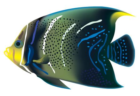 pomacanthus: Tropical fish Pomacanthus semicirculatus. illustration.