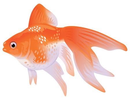 Aquarium Goldfish veiltail.