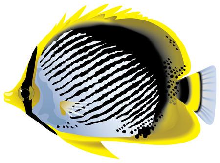 driftwood: Tropical fish. �lackback butterflyfish Chaetodon (Rabdophorus) melannotus.