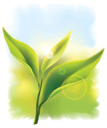 hojas de te: El t� verde fresco deja en los rayos del sol. ilustraci�n.