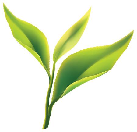 verde: Hojas frescas de té verde sobre fondo blanco. ilustración.