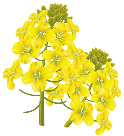 brassica: Rape flower (Brassica napus). illustration on white background.