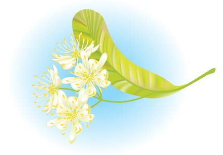 linden tea: Linden flowers. illustration. Illustration
