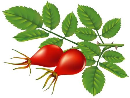 eglantine: A branch of wild rose hips. illustration.
