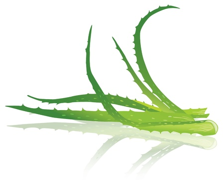 aloe vera plant: Aloe vera leaves. illustration Illustration