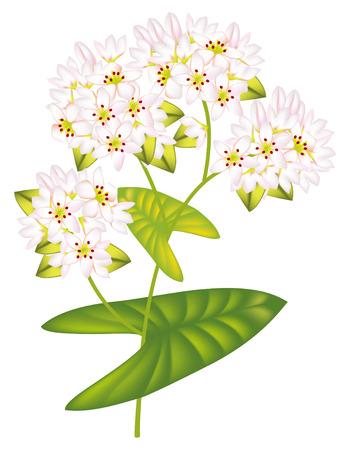 Flower buckwheat