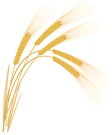 Rye spikelets on a white background