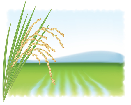 plant food: Rice field and a branch of ripe rice