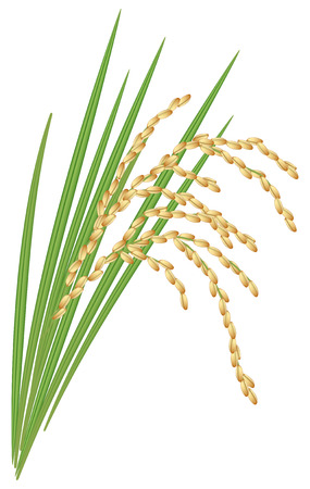 Spikelet of rice with the leaves