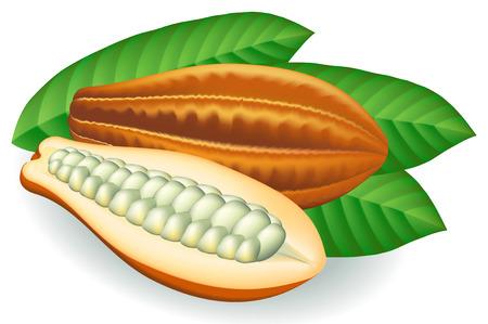 Cocoa beans. Vector