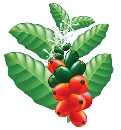 arbol de cafe: Frutas y flores de cafeto. Ilustraci�n vectorial.