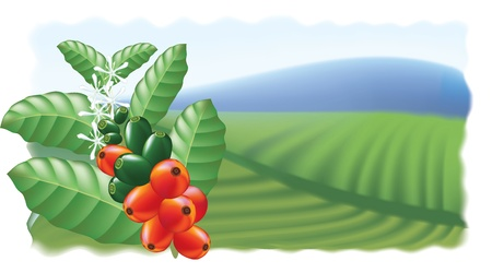tree in field: Fruits and flowers of coffee tree. Vector illustration.