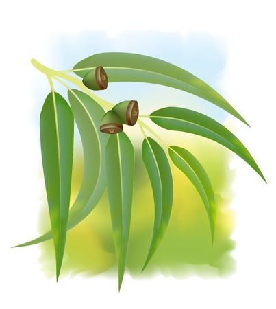 ester: Eucalyptus branch on white background. Vector illustration. Illustration