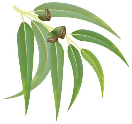 Eucalyptus branch on white background. Vector illustration. Vektorové ilustrace