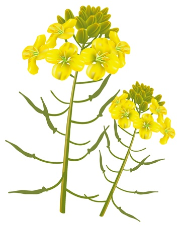 canola plant: Mustard flower on a white background. Vector illustration. Illustration